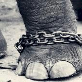 Chained Baby Elephant
